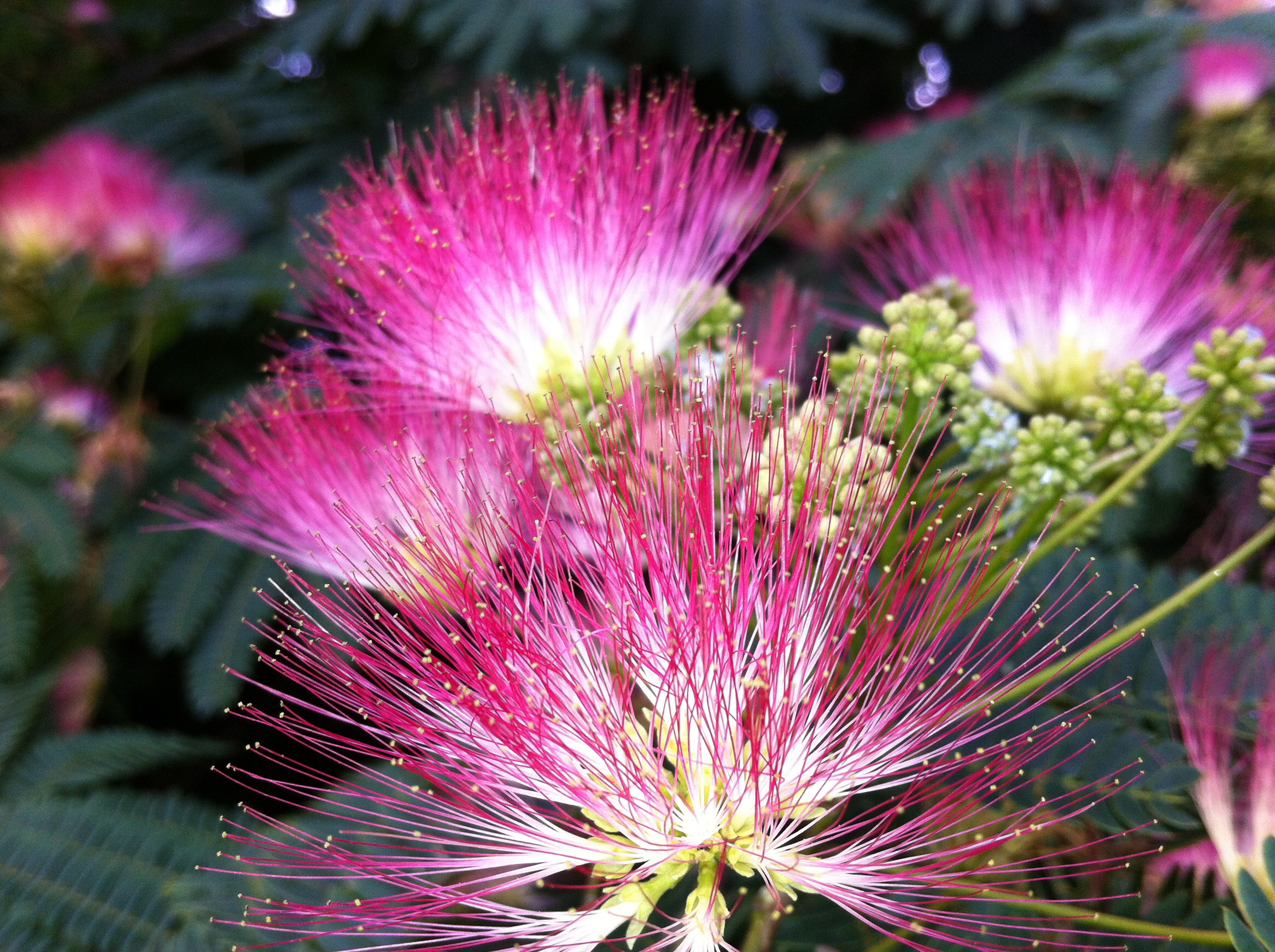 mimosa-flower.jpg